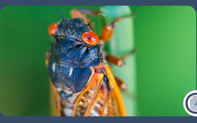 Periodical Cicadas: Once Every 17 Years!